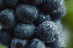 Schließen Sie oben, Beeren der dunklen Weintraube mit Wassertropfen des Restlichts auf schwarzem Hintergrund Lizenzfreie Stockfotos