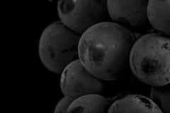 Schließen Sie oben, Beeren der dunklen Weintraube mit Wassertropfen des Tiefs Stockfoto
