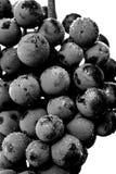 Schließen Sie oben, Beeren der dunklen Weintraube mit Wassertropfen des Tiefs Lizenzfreie Stockbilder