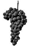 Schließen Sie oben, Beeren der dunklen Weintraube mit Wassertropfen des Tiefs Lizenzfreies Stockbild
