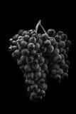 Schließen Sie oben, Beeren der dunklen Weintraube mit Wassertropfen des Tiefs Stockfotos