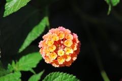 Schließen Sie oben in den portugiesischen Gartenblumen Erstaunliches buntes Gelbes und rosa Lizenzfreie Stockfotografie