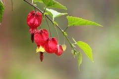Schließen Sie oben in den portugiesischen Gartenblumen Erstaunliches buntes Gelbes und rot lizenzfreies stockfoto