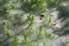 Schließen Sie oben an der Spinne auf Spinnennetzen auf dem Gras mit Taurückgängen - selektiver Fokus, Wasserrückgänge auf Netz im Stockbild