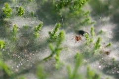 Schließen Sie oben an der Spinne auf Spinnennetzen auf dem Gras mit Taurückgängen - selektiver Fokus, Wasserrückgänge auf Netz im Stockfotos