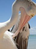 Schließen Sie oben in eine Pelikanwelt Stockbilder