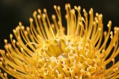 Schließen Sie oben im Protee Pin Cushion der portugiesischen Gartenblumen Stockfotografie