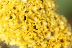 Schließen Sie oben, Makrofotobeschaffenheit der gelben Hahnenkammblume Lizenzfreie Stockfotos