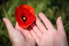 Schließen Sie oben mit den Händen, die eine Mohnblume halten Lizenzfreie Stockfotos
