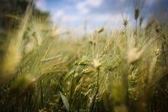 Schließen Sie oben mit den Weizenähren Lizenzfreies Stockbild