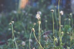 Schließen Sie oben und die undeutliche träumerische Gruppe der Mantelknopfblume im Garten fokussierend Lizenzfreies Stockbild
