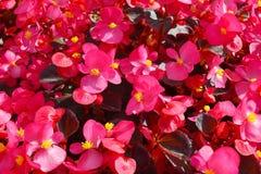 Schließen Sie oben vom üppigen Blühen vieler Begonien mit rosa Blumen und Bronzeblättern unter hellem Sonnenschein, floristische  stockbilder