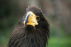 Schließen Sie oben vom Adler mit Sonderkommando seines Kopfes Lizenzfreie Stockbilder