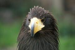 Schließen Sie oben vom Adler mit Sonderkommando seines Kopfes Stockbild