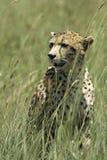 Schließen Sie oben vom afrikanischen Leoparden, der im Gras sitzt Stockbilder