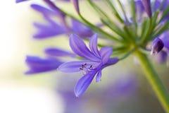 Schließen Sie oben vom Agapanthus in der Blüte an einem sonnigen Tag Stockfoto