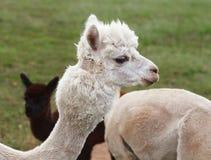 Schließen Sie oben vom Alpaka auf dem Bauernhof lizenzfreie stockfotos