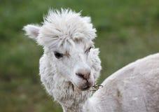 Schließen Sie oben vom Alpaka auf dem Bauernhof stockbilder