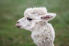 Schließen Sie oben vom Alpaka auf dem Bauernhof stockbild