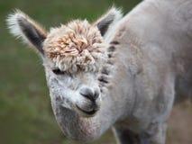 Schließen Sie oben vom Alpaka auf dem Bauernhof lizenzfreies stockfoto