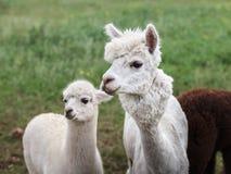 Schließen Sie oben vom Alpaka auf dem Bauernhof stockfotos