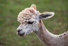 Schließen Sie oben vom Alpaka auf dem Bauernhof stockfotografie