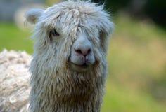 Schließen Sie oben vom Alpakakopf stockfoto