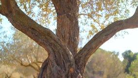 Schließen Sie oben vom alten Olivenbaum stock video