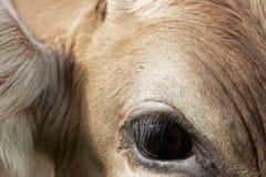 Schließen Sie oben vom Auge einer jungen Kuh Stockbild