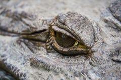Schließen Sie oben vom AUGE eines enormen Mohrenkaiman-Alligators Guyana Südamerika lizenzfreie stockbilder
