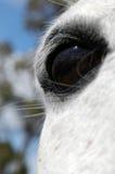 Schließen Sie oben vom Auge eines grauen Pferds Stockfotos