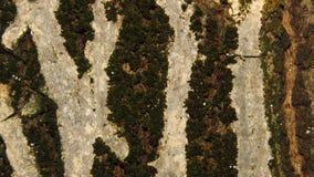 Schließen Sie oben vom Baum der schwarzen Walnuss der Barke stockbild