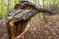 Schließen Sie oben vom Baum, der von der Mitte geknackt wird Stockbilder