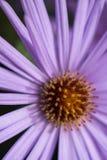 Schließen Sie oben vom Blumensamenkopf im Purpur und im Gold lizenzfreie stockfotos