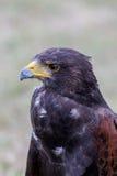 Schließen Sie oben vom braunen Adler Lizenzfreie Stockfotografie