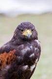 Schließen Sie oben vom braunen Adler Lizenzfreies Stockfoto