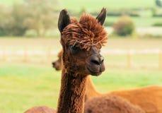 Schließen Sie oben vom braunen Alpaka stockbilder