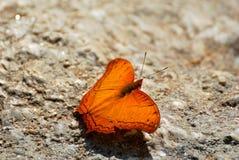 Schließen Sie oben vom braunen Schmetterling auf Steinboden Stockfotografie