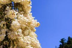 Schließen Sie oben vom Chaparral-Yucca (Hesperoyucca-whipplei) blühend in den Bergen, Angeles-staatlicher Wald; Los Angeles Count lizenzfreie stockfotografie
