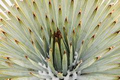 Schließen Sie oben vom Chaparral-Yucca (Hesperoyucca-whipplei) wachsend auf den Steigungen von Mt San Antonio, Schnee an seiner B lizenzfreies stockbild