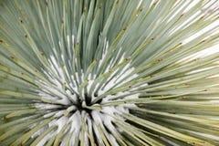 Schließen Sie oben vom Chaparral-Yucca (Hesperoyucca-whipplei) wachsend auf den Steigungen von Mt San Antonio, Schnee an seiner B stockbilder