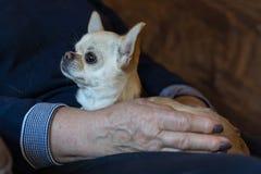Schließen Sie oben vom Chihuahuahund auf der Frauenhand lizenzfreies stockfoto