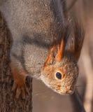 Schließen Sie oben vom Eichhörnchen Stockbilder