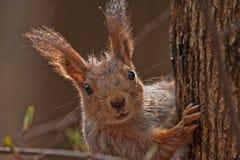 Schließen Sie oben vom Eichhörnchen Stockfotos