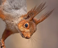 Schließen Sie oben vom Eichhörnchen Stockbild