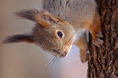 Schließen Sie oben vom Eichhörnchen Stockfoto