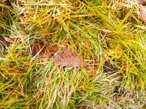 Schließen Sie oben vom eisigen gefrorenen Blatt der braunen Eiche auf Gras lizenzfreies stockbild