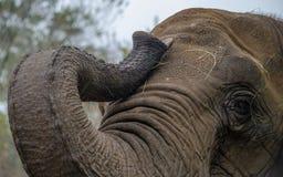 Schließen Sie oben vom Elefantstamm Lizenzfreies Stockfoto