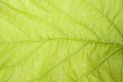 Schließen Sie oben vom empfindlichen grünen Blatt Stockbilder