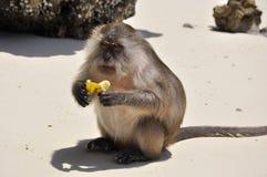 Schließen Sie oben vom Fallhammer, der Banane auf dem Strand isst Stockfoto